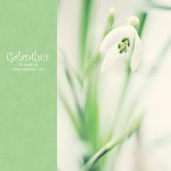 Galanthus by AlexEdg
