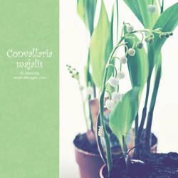 Convallaria majalis. 01 by AlexEdg