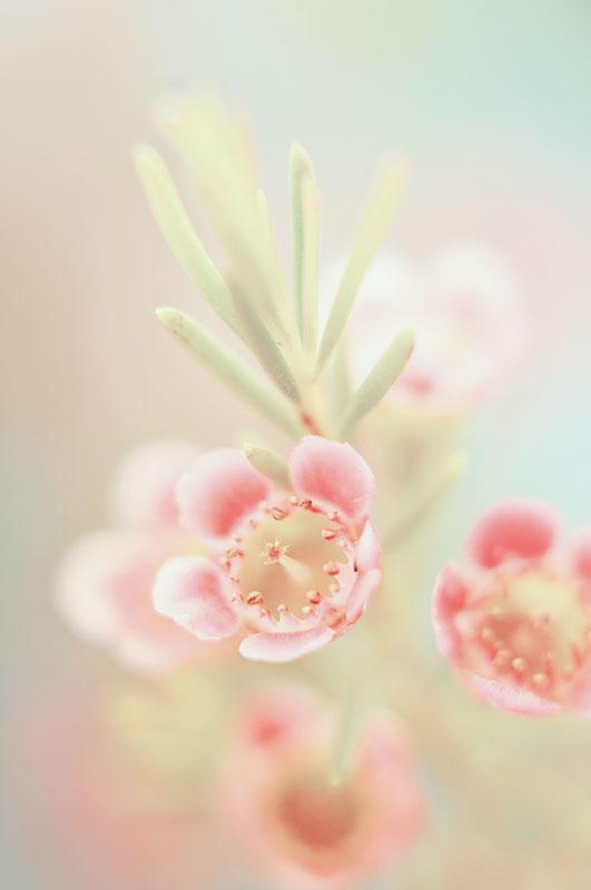 Geraldton Waxflower by AlexEdg