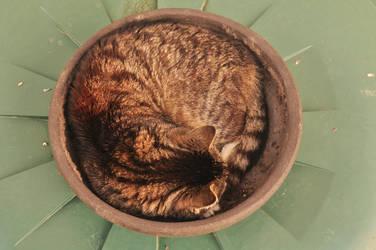 Tiger in a bowl by xXseadragonXx