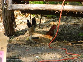 Test Chicken by Cerubus
