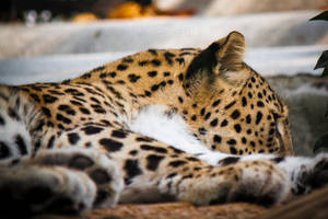 Leopard tired.. by Nicho90