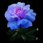 Rose by Ulfrheim