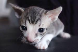 Kitten by LittleAngy