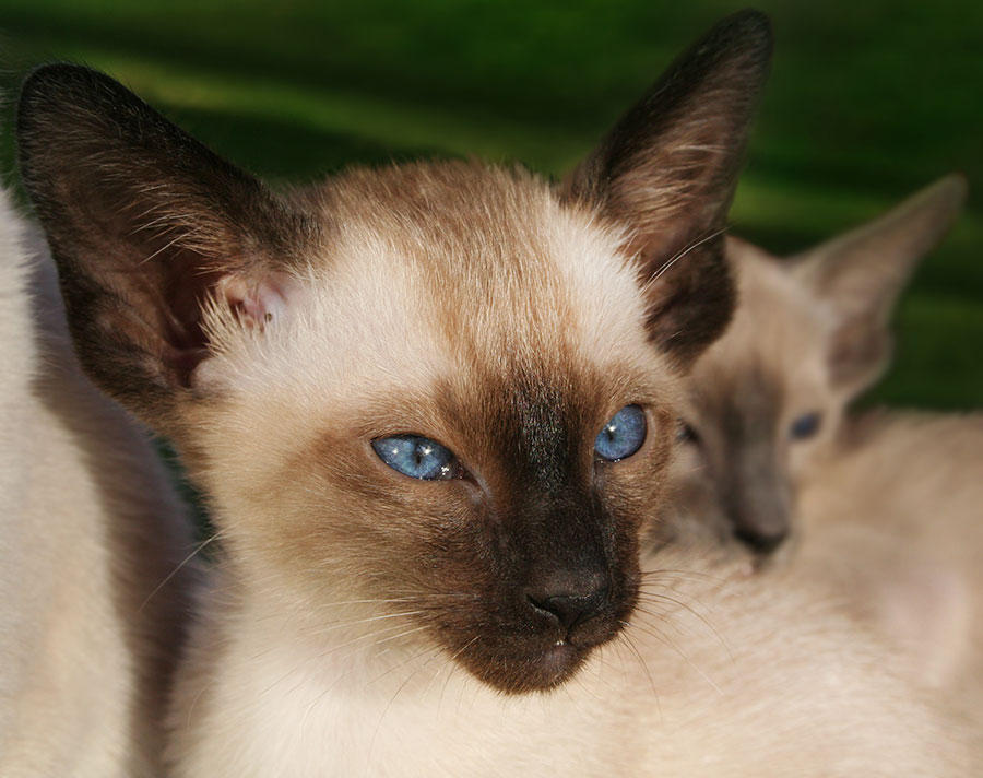 Siamese by LittleAngy