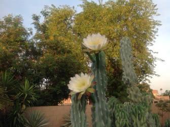 Cactus Flower by firepiro
