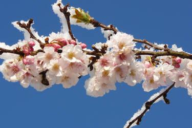 Snow blossom by MarjOlijn
