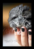 ...ChinChilla II... by Elegance85