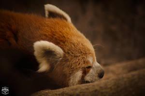 Sleeping Red Panda by sagnikarmakar