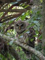 Barred Owl 2 by illmatar