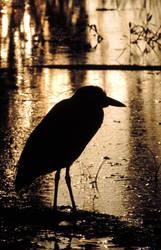 Golden Heron by illmatar