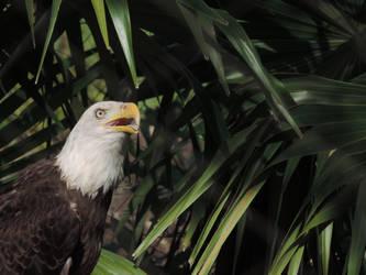 Eagle by illmatar