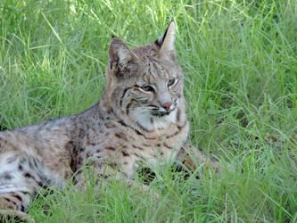 Bobcat by illmatar