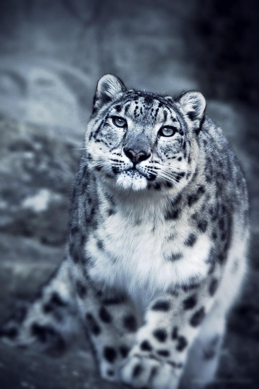 Snow Leopard by EnriqueVelasco