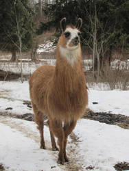 Llama Llama by hpets