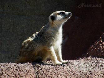 Meerkat by Neemund