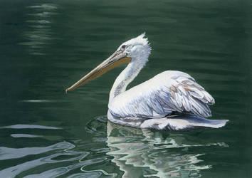 Dalmatian Pelican by birdaves