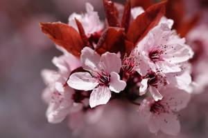 Spring is pink by Skaldur