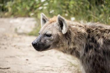 Spotted Hyena by Skaldur