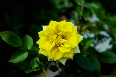 Yellow Rose by akib99
