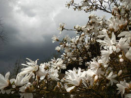 White bloom and dark sky by Acrylicdreams