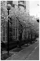 Cherry Blossoms I by bcdirector