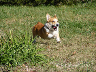 Best Corgi Pic EVER by coyoteflutesong