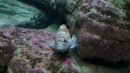 RockFish by peanutbutterhunter