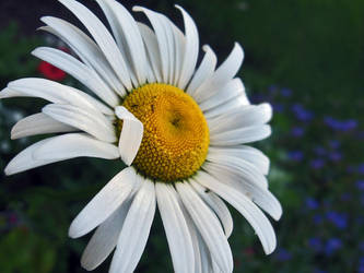 daisy by stewmac
