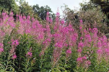 Doune Castle Purple Plants by mmp-stock
