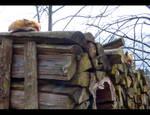 Foxes by I-A-Grafix