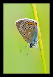 Common Blue by Yaninah