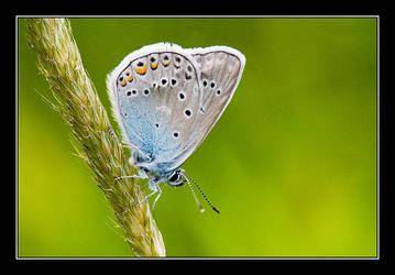 Common Blue II by Yaninah