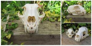 Bobcat Skull by Jewel-Wing