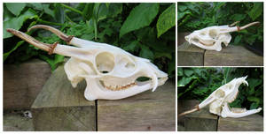 Muntjac Skull by Jewel-Wing