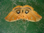 Moth by pancakeday