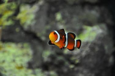 Clown Fish by Florinachis