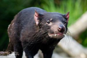Tasmanian Devil-2314 by Christina-Phillips