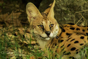 Serval-4599 by Christina-Phillips