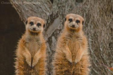 Meerkats-3520 by Christina-Phillips