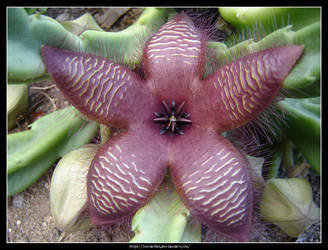 Stapelia Flower by Succulent-Club