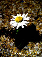daisy that grew from concrete. by mihi2008