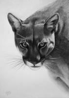 Puma - Lion of the Andes by Vishvesh99
