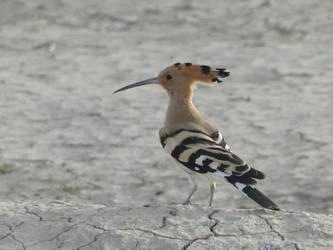 Hoopoe bird by 4l1-stock