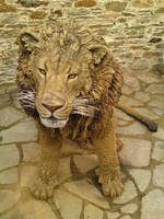 Lion by mattcummings