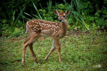 Curious Little Fawn by Silver-Dew-Drop