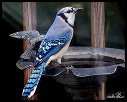 Blue Bird by Silver-Dew-Drop