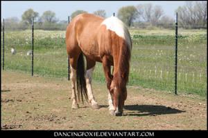 Paint Horse 02 by DancingFoxie