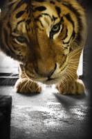tiger by struky