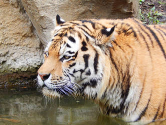Tiger. by Menuxi